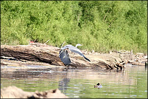 herons and other wildlife abound on the Ohio River